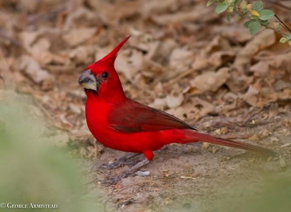 """""""El Rey de La Guajira"""", the Vermilion Cardinal."""