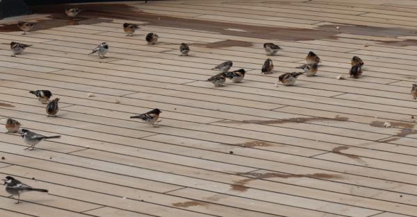 Bramblings and White Wagtails aboard the Statendam; photo by © David Cooper. See article in Birding, February 2012, pp. 32–44.