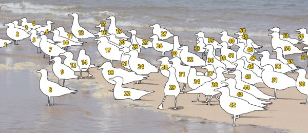 In discussing the gulls in this photo quiz, please refer to the numbering scheme in this image.