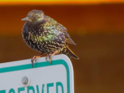 European Starling, Walmart Supercenter, Lafayette, Boulder County, Colorado; Aug. 28, 2016, 7:06 am.