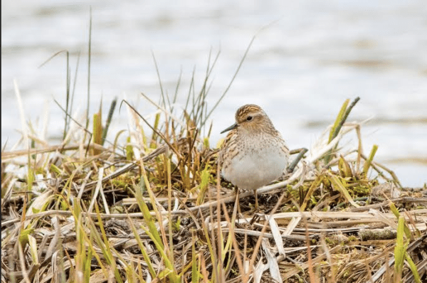 We found a few Long-toed Stints during our stay on Attu. Photo: Neil Hayward