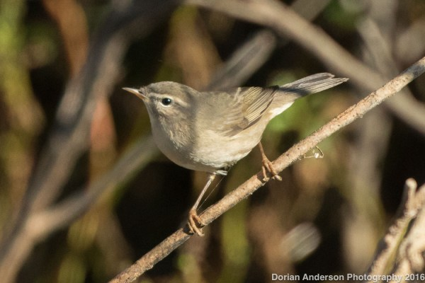 California's 2nd Dusky Warbler of the fall was found in Orange County this week. Photo: Dorian Anderson (S31947247) via Macauley Library