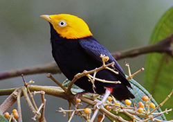 golden-headed-manakin