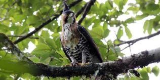 Ornate-Hawk-eagle-by-Juan-Zamora_1