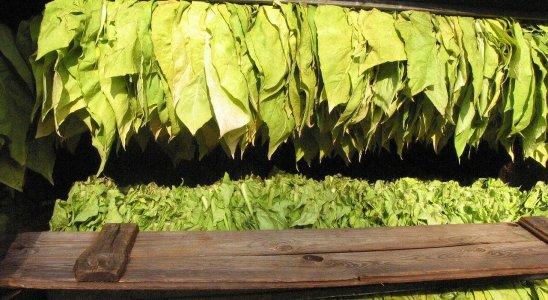 folhas de tabaco postas para secar