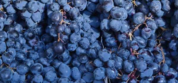 Le marc de raisin aide à lutter contre la peau d'orange.