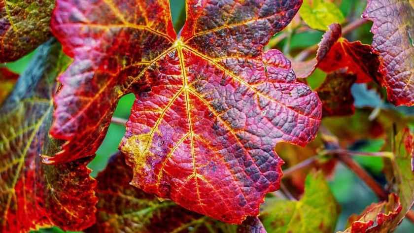 La vigne rouge, ses bienfaits pour une meilleure circulation sanguine