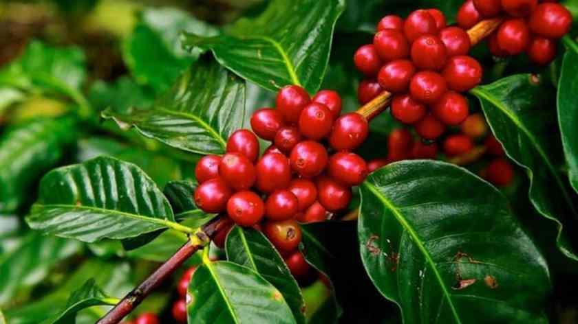 Café meilleure plante brûle-graisses