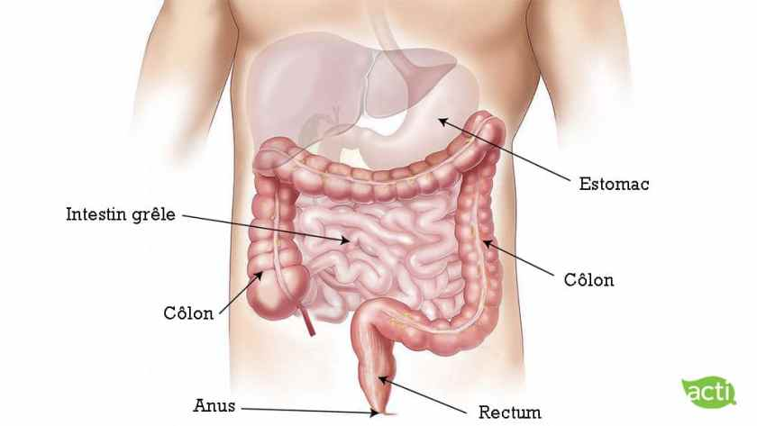 Les organes de la digestion