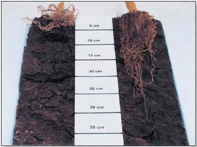 raizes compactadas australia milho
