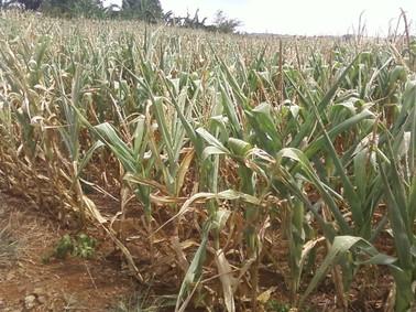 seca milho