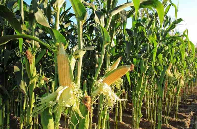 produtividade de milho por hectare