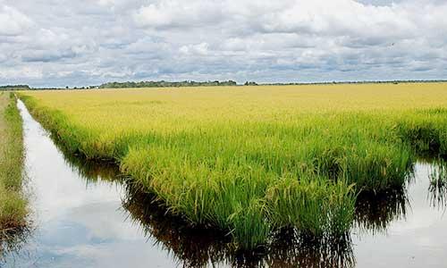 3-colheita-de-arroz