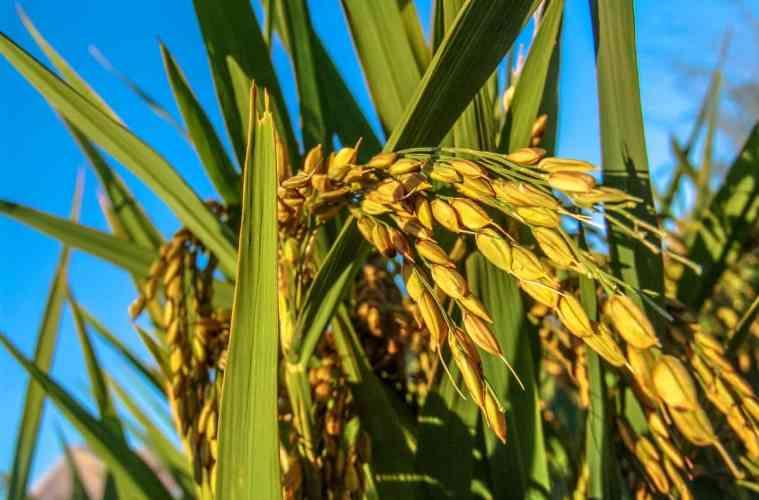 cultivo-de-arroz