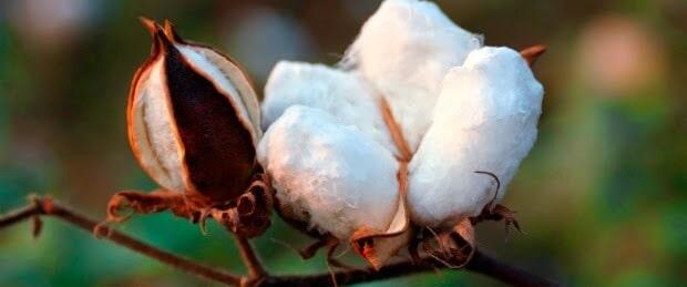 colheita de algodão