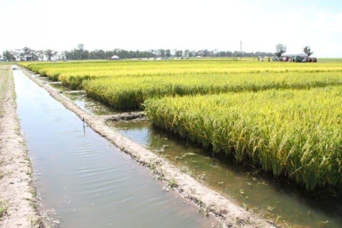 plantio de arroz irrigado
