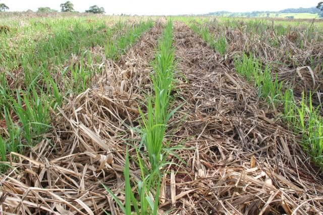 palhada no plantio de arroz
