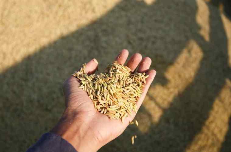 plantação de arroz colheita