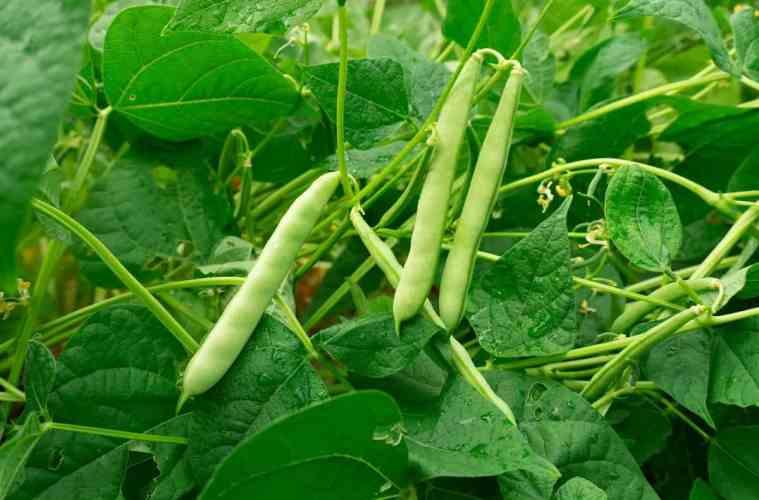 preparo do solo para plantio de feijão