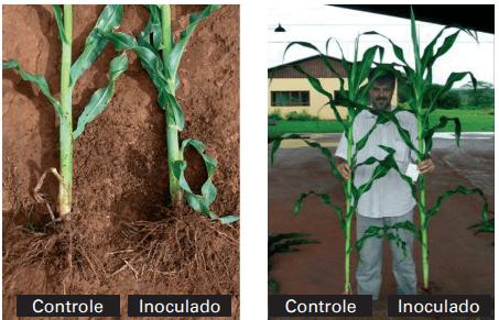 Efeito da inoculação de milho com as estirpes Ab-V5 e Ab-V6 de Azospirillum brasilense no crescimento radicular