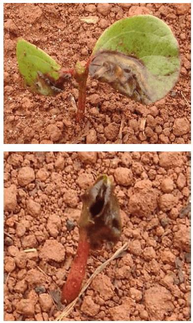 Plântulas de algodoeiro com sintomas de mela