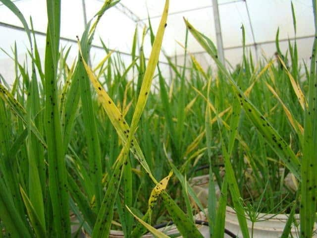 foto com Sintomas do nanismo amarelo da cevada com pulgões Rhopalosiphum padi