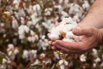 qualidade da fibra do algodão