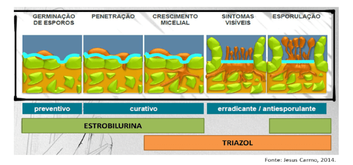 infográfico com princípios de controle de fungicidas e fases da infecção por fungos - fungicida sistêmico