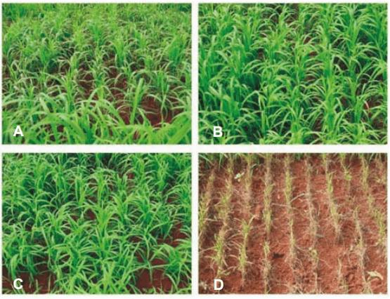 Efeito do tratamento de sementes de arroz para o controle de brusone. Tratamento químico com 3 fungicidas diferentes (A, B e C) e parcela sem tratamento (figura D).