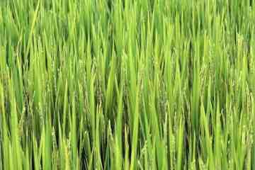 adubação para arroz