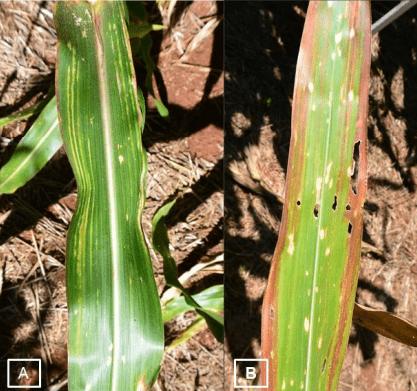 duas fotos com sintomas enfezamento vermelho nas folhas do milho – A- estrias cloróticas, B – Estrias avermelhadas