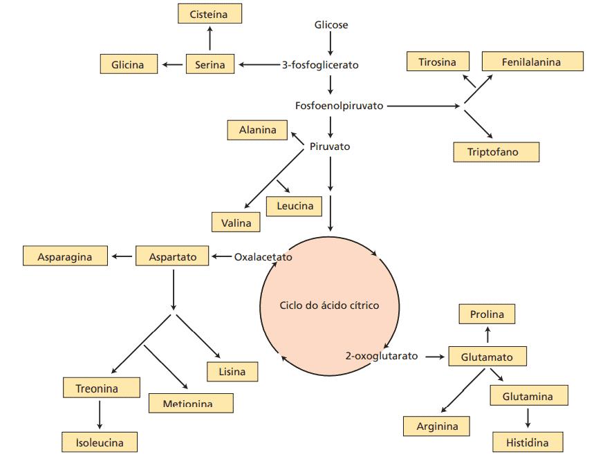 gráfico com rotas biossintéticas dos esqueletos de carbono dos 20 aminoácidos padrão
