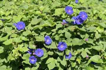 planta daninha corda-de-viola