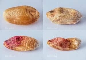 fotos de quatro grãos de trigo contaminados pela giberela (Fusarium graminearum) em estágios diferentes