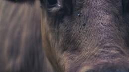 cow-690101_1280