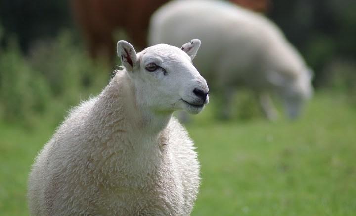sheep-897538_1920