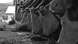 cows-948298_1920