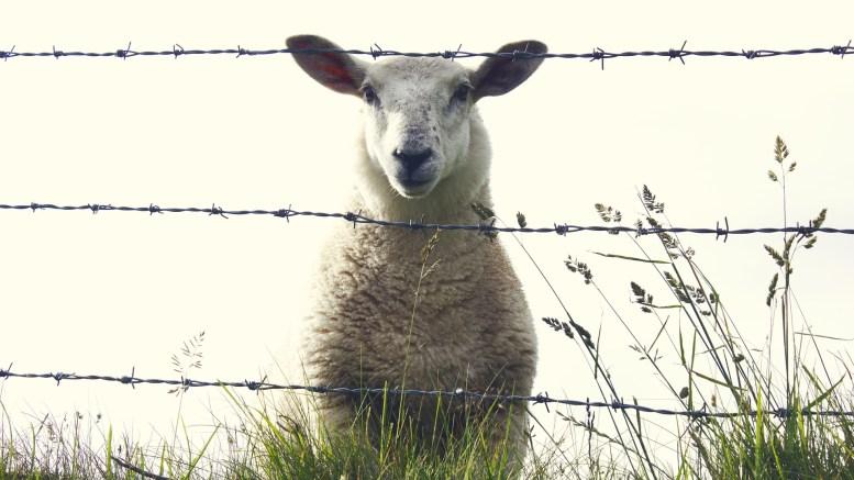 sheep-909136_1920