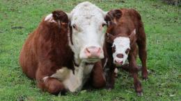 abattage vaches gestantes témoignages éleveurs AFAAD