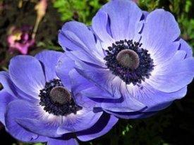 Foto zweier blauer Blüten