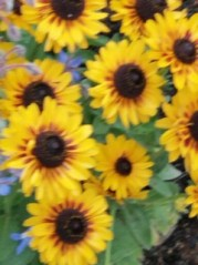 Foto von mehreren Sonnenblumen