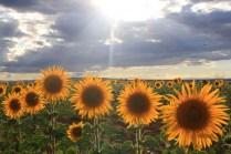 179 La Flor del Sol Quintanilla de los Oteros