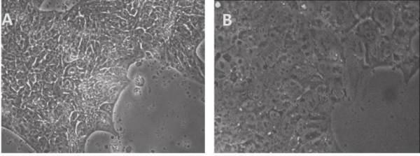 human ground state naive pluripotent stem cells   AlleleBlog