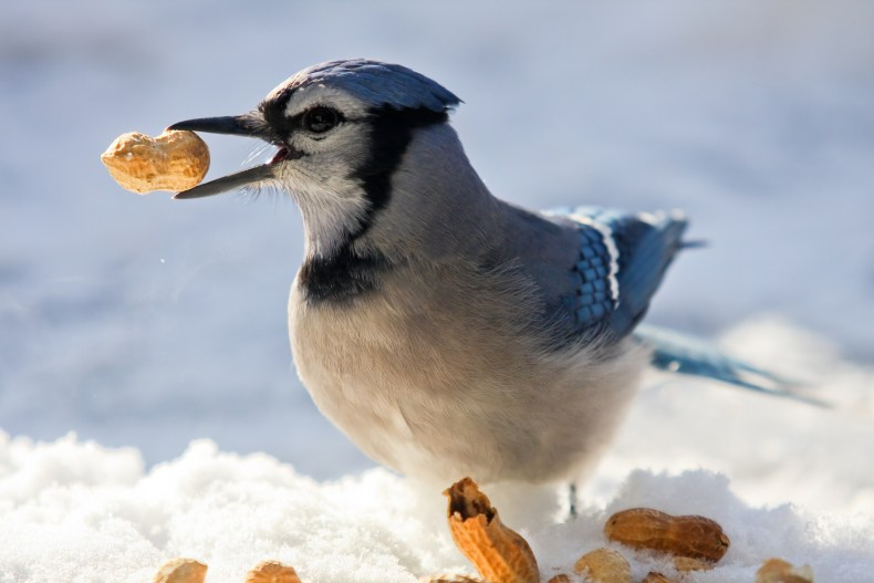 Blue Jay eating peanuts in the snow