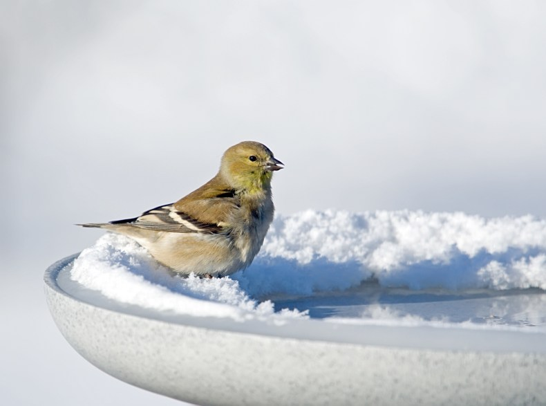 Goldfinch in snowy bird bath