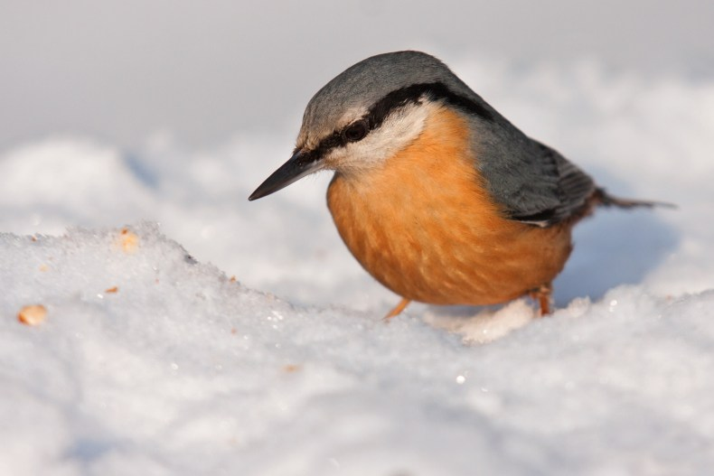 Nuthatch bird in snow