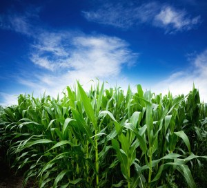 Most ethanol for flex fuel is produced from corn.