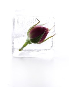 41749452 - frozen rose in ice cube