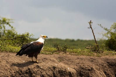 African fish Eagle (juv.)