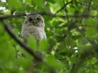Tawny Owl Nestling